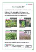 紅大の日本産逆輸入種子