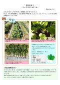 【開発部便り】秋の収穫(カブ・キャベツ・サツマイモ)