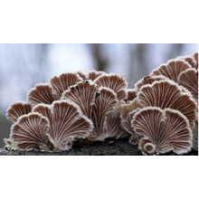 化粧品原料 Shyzophyllan (天然多糖類シゾフィラン) 製品画像