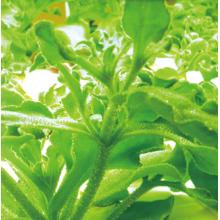 植物工場ストレス栽培技術「ストレス負荷栽培生産」 製品画像