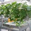 栽培システム『町田式水耕栽培槽』 製品画像