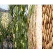 機能性食品原料 オリジナル原料『SENSEPUR』 製品画像
