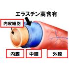 エラスチン:血管への作用 製品画像