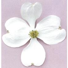 緑化オリジナル ハナミズキ『ホワイトラブ』 製品画像
