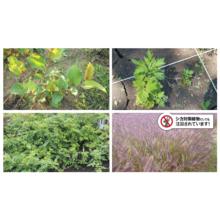 紅大の日本産逆輸入種子 製品画像