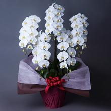 胡蝶蘭 製品画像
