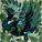 Peacock_re.jpg